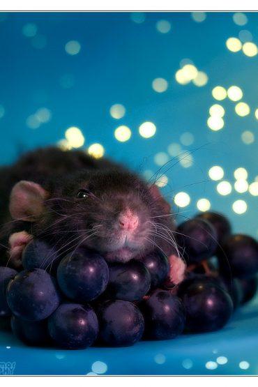 sweetest rats
