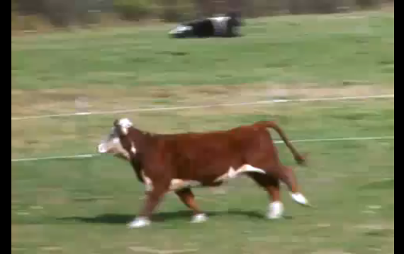 The Cow That Just Wanted To Live (Video)