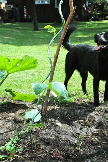 Fritzi wtaching the beans grow