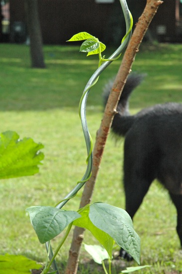 A bean plant entwining