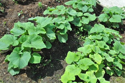 These are the pumpkin plants
