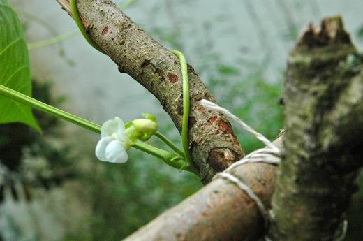 A bean flower