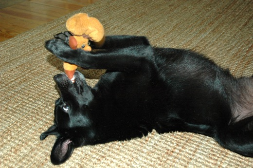 He loves to lay on his back and hold on to the toy with his paws