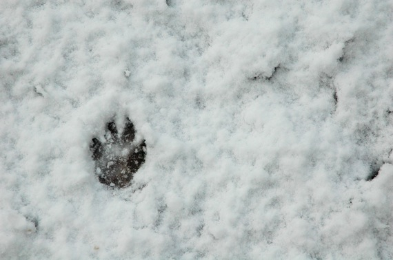 Fritzis paw in the snow