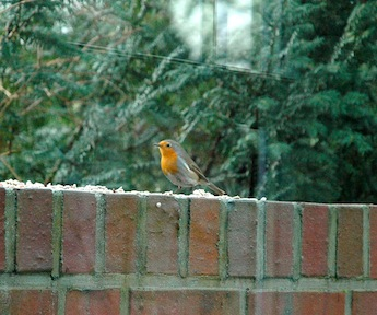 A robin bird sitting on our wall