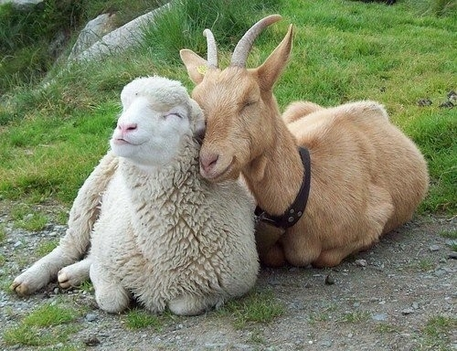Smiling goat and sheep