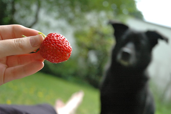 While laying in the garden (and eating strawberries) Fritzi the food-beggar showed up