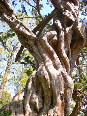 A tree at Huntington Gardens
