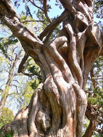 A tree at Huntington Gardens