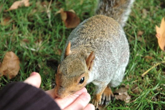 A squirrel in Green Park