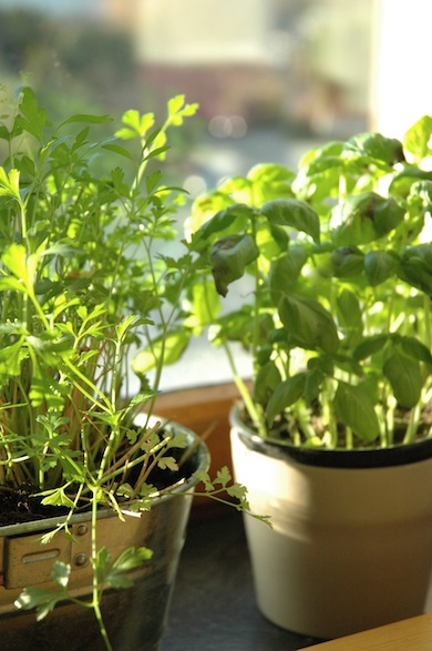 At the moment we grow basil, parsley and mint