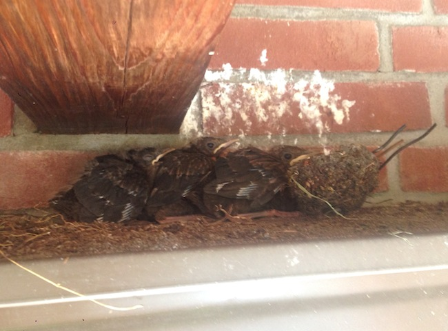 Baby birds without nest