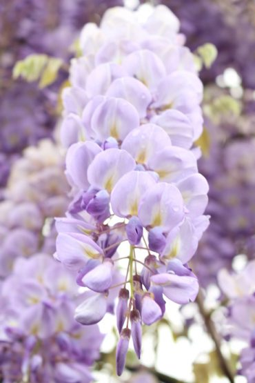 whisteria flower