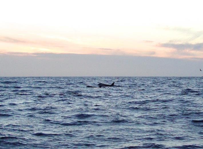 Orcas ♥