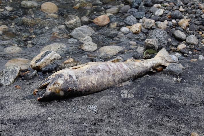 Huge dead salmon